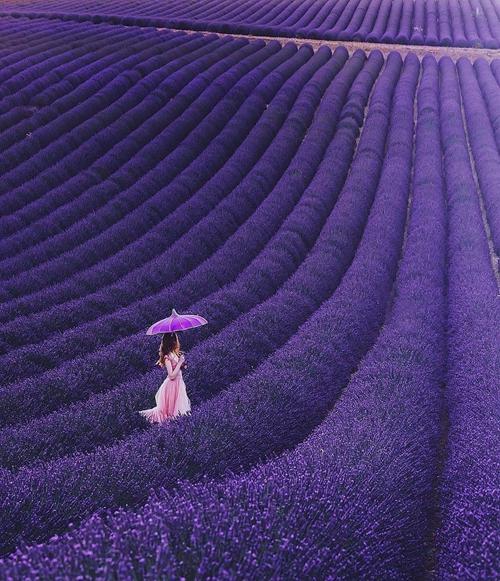 【法國】普羅旺斯Valensole 世界上最大的薰衣草花海
