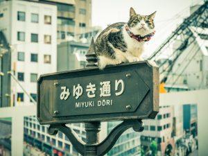 日本貓島田代島的貓
