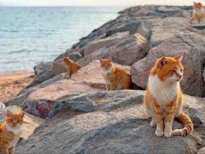 日本貓島青島的貓