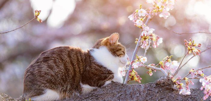 日本貓島的貓
