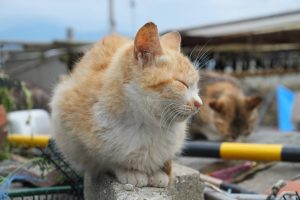 日本貓島江之島的貓