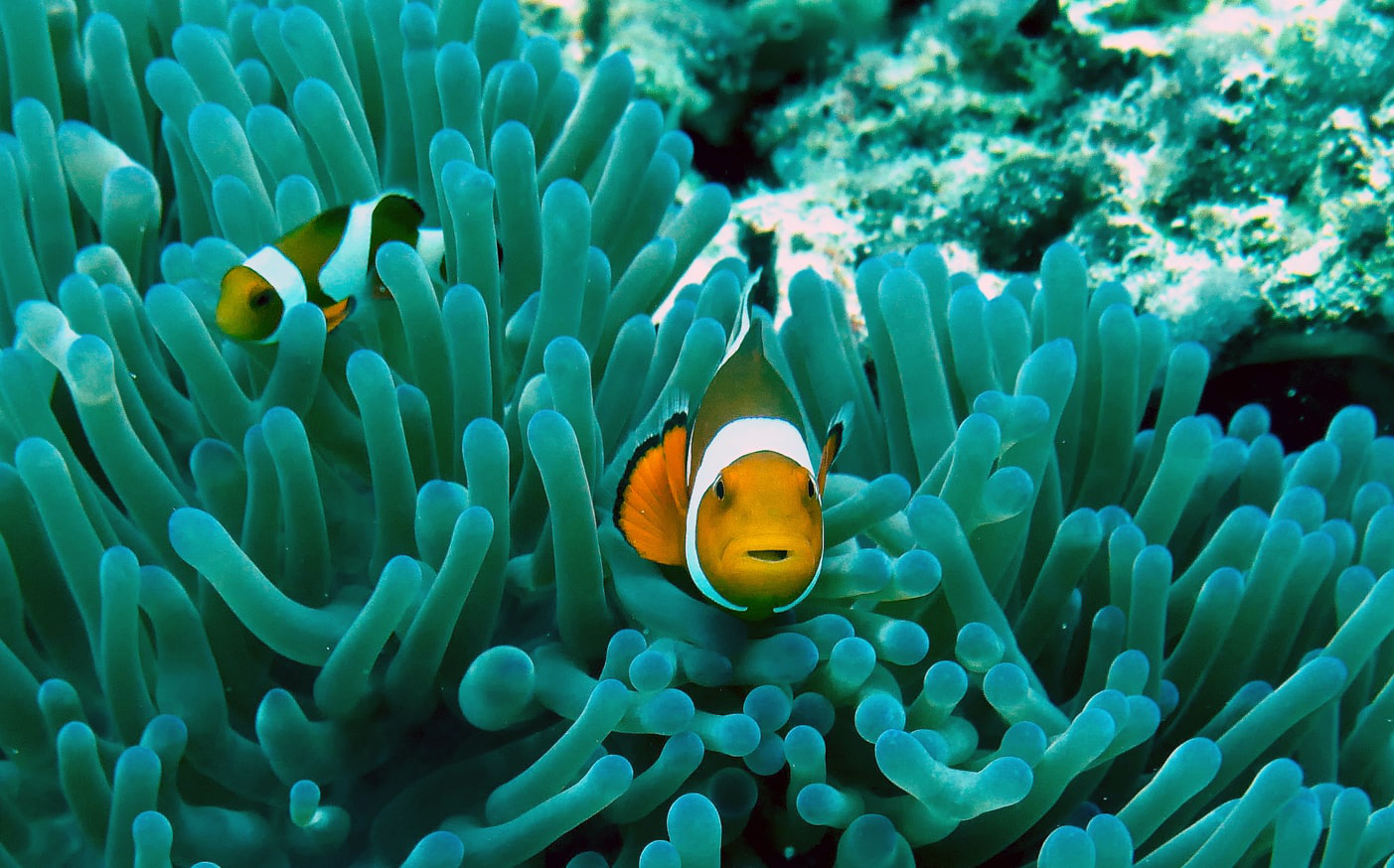 石垣島潛水 小丑魚