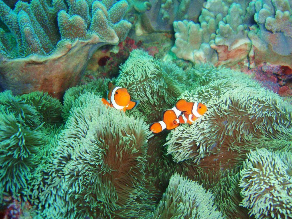 沖繩潛水 小丑魚